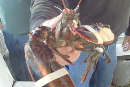 Lobsters ready for Maine Day
